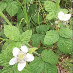 Invasive Weed Herbicides