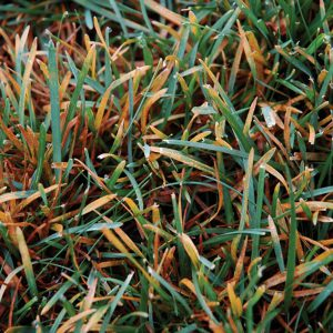 Fungicide For Rust