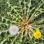 Dandelion (Taraxacum)